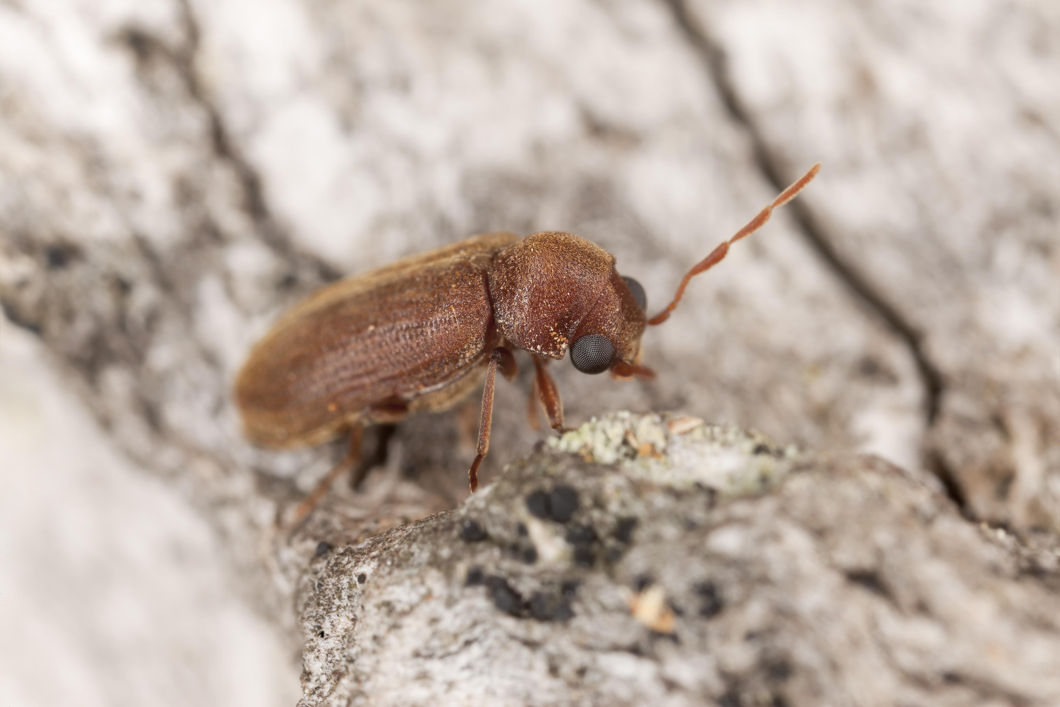 Woodborer, Oligomerus brunneus, extreme close-upting